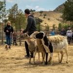 DAY 3 - Sheep-56